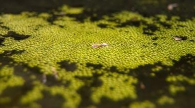 Photo of جلبکها و تولید مواد غذایی در شرایط سخت فضا