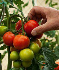 اهمیت یک ژن خاص در تحمل گوجهفرنگی به خشکی - اخبار زیست فناوری