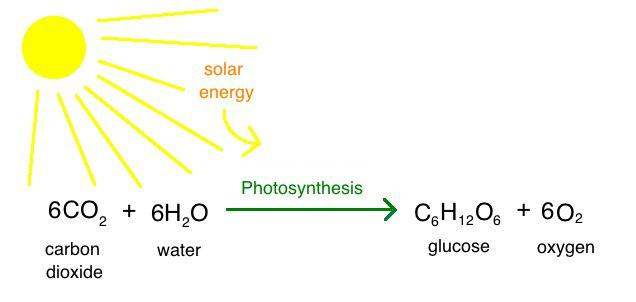 word equation for photsynthesis Chemical formula for photosynthesis - the overall process is best shown by the net equation 6co2 + 6h2o == c6h12o6 + 6o2.