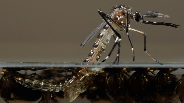 انتشار پشههای تراریخته در ایالات متحده - اخبار زیست فناوری
