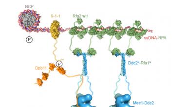 چگونگی عملکرد ساختارهای ترمیم DNA در محلهای آسیب - اخبار زیست فناوری