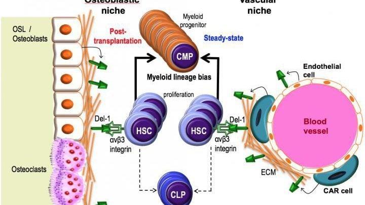 پروتئین مغز استخوان و بهبود پیوند سلولهای بنیادی - اخبار زیست فناوری