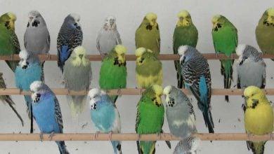 Photo of چگونه طوطیهای سبز و زرد، سبب ایجاد نسلی آبیرنگ میشوند؟!