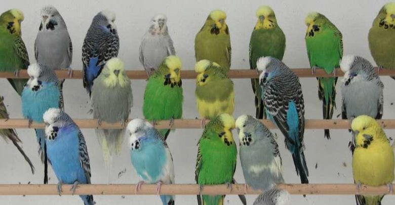 چگونه طوطیهای سبز و زرد، سبب ایجاد نسلی آبیرنگ میشوند؟! - اخبار زیست فناوری