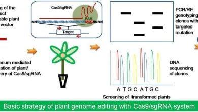 Photo of استفاده از روش CRISPR-Cas9 برای آنالیز عوامل رونویسی مقاومت به سرما در برنج