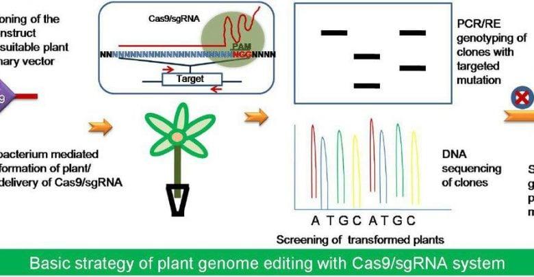 استفاده از روش CRISPR-Cas9 برای آنالیز عوامل رونویسی مقاومت به سرما در برنج - اخبار زیست فناوری