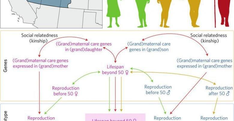 ناتوانی علم ژنتیک در یافتن دلیل زنده ماندن زنان بعد از سن یائسگی! - اخبار زیست فناوری