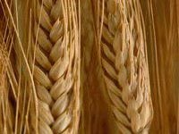 Photo of تولید نان بدون گلوتن با گندم تراریخته جدید