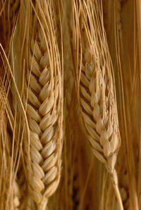 تولید نان بدون گلوتن با گندم تراریخته جدید - اخبار زیست فناوری