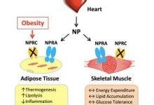 Photo of هورمونهای قلب ما را در مقابل چاقی و مقاومت به انسولین محافظت میکنند