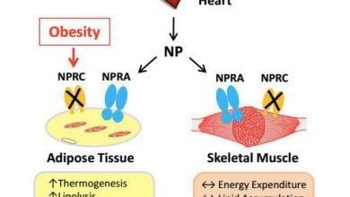 هورمونهای قلب ما را در مقابل چاقی و مقاومت به انسولین محافظت میکنند - اخبار زیست فناوری