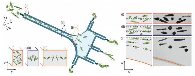 فرایند جدید جداسازی ریزجلبک ها بر اساس شکل اخبار زیست فناوری