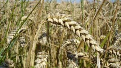 Photo of تولید طبیعی گندمهای دورگه به کمک ژن تازه کشف شده