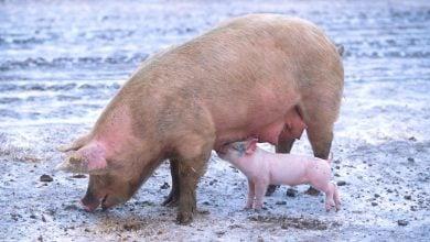 Photo of فیبر تخمیر شده در دستگاه گوارش خوک