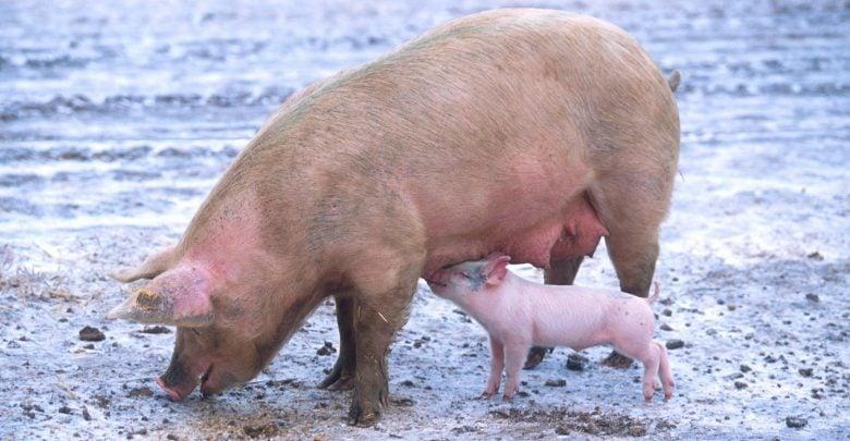 فیبر تخمیر شده در دستگاه گوارش خوک - اخبار زیست فناوری