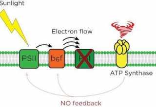راز فرایند آهسته و پیوسته فتوسنتز - اخبار زیست فناوری