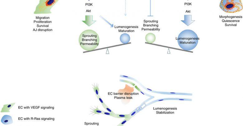 کشف کلید بازسازی رگهای خونی – اخبار زیست فناوری