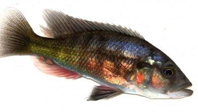 Photo of کمک ماهی ها به فهم تکامل سیستم ایمنی