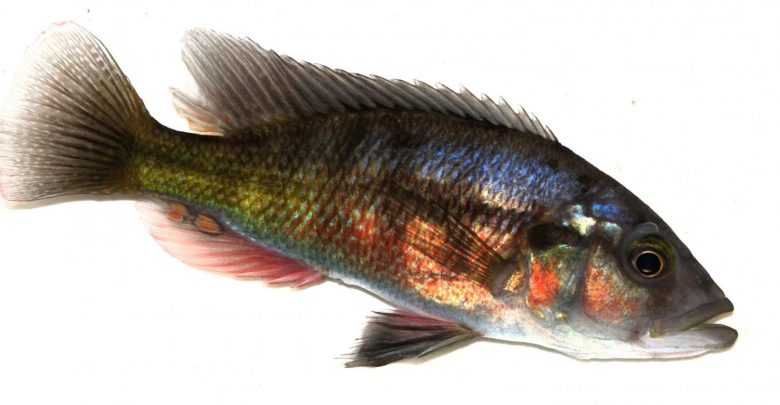 ماهی ها به فهم تکامل سیستم ایمنی کمک می کنند - اخبار زیست فناوری