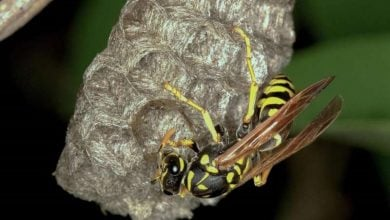 A genus of European paper wasps revised for the first time using integrative taxonomy - اخبار زیست فن