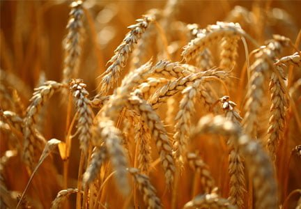 Bioengineering of wheat still faces significant challenges - اخبار زیست فن