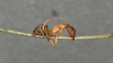 Photo of پدیده مورچه زامبی