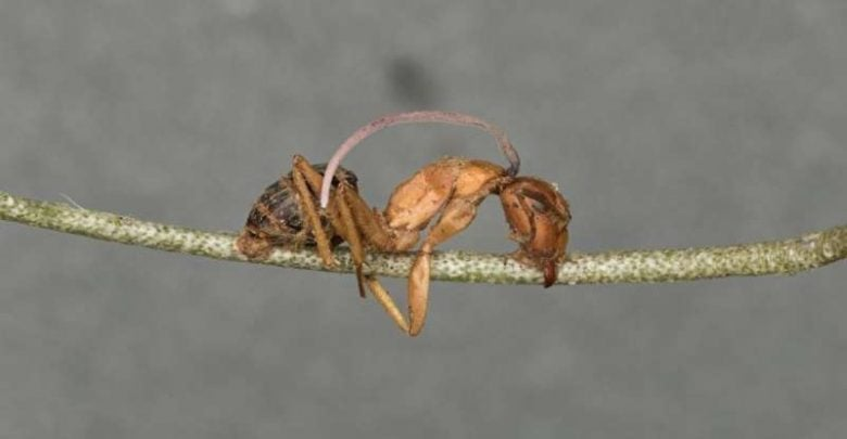 Biological clock found in fungal parasite sheds more light on 'zombie ants' phenomenon - اخبار زیست فن