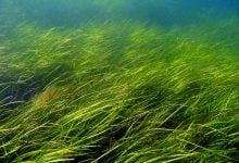 Photo of Saving seagrasses from dredging—new research finds solutions