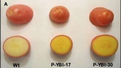 "Photo of ویتامین A و E در سیب زمینی ""طلایی"""