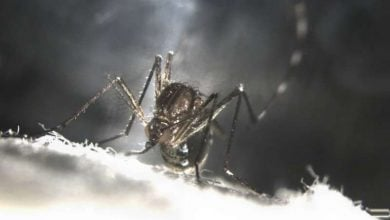 Making mosquitoes self-destruct - اخبار زیست فن