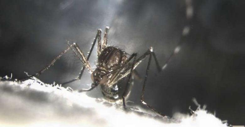 Making mosquitoes self-destruct - اخبار زیست فن