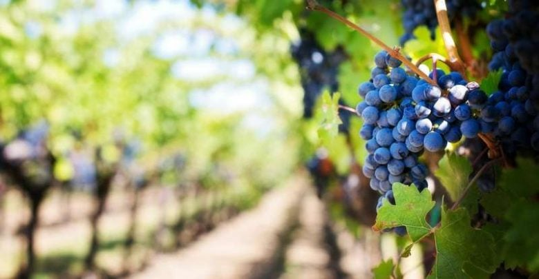 New discovery to accelerate development of salt-tolerant grapevines - اخبار زیست فن