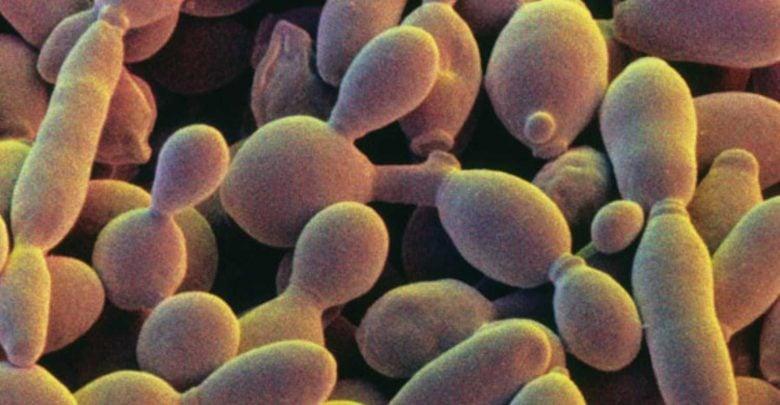شناسایی ژن مخمر در پشت گل رز و طعم دهنده شیرین در آبجو و شراب - اخبار زیست فناوری