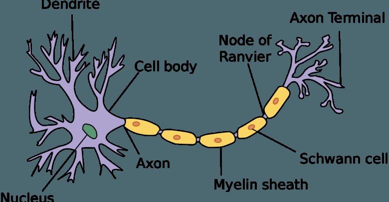 مکانیزم پاتوژن در بیماری های نورون های حرکتی - اخبار زیست فناوری