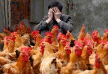 آیا ما در معرض اپیدمی آنفلوانزای مرغی با ویروس H7N9 هستیم؟ - اخبار زیست فناوری