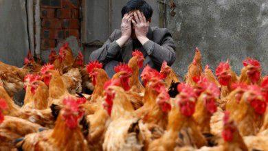 Photo of آیا ما در معرض اپیدمی آنفلوانزای مرغی با ویروس H7N9 هستیم؟