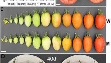 تولید ارقام گوجهفرنگی واجد ماندگاری بالا با سیستم CRISPR-Cas9 - اخبار زیست فناوری