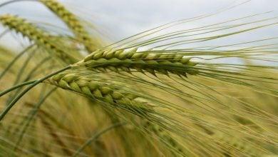 Photo of راهبردی ژنتیکی برای بهبود کیفیت و یکنواختی دانههای جو