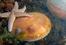Photo of ژنتیک اسکالوپ های دریایی