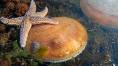 ژنتیک اسکالوپ های دریایی - اخبار زیست فناوری