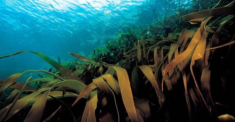 اثرات میکروب های سودمند و عصاره جلبک دریایی بر بهره وری از صنوبر و زنجبیل - اخبار زیست فناوری