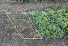علائم مثبتی از مقاومت سیب زمینی اصلاح ژنتیکی به آفت زنگ - اخبار زیست فناوری