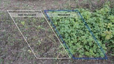 Photo of علائم مثبتی از مقاومت سیب زمینی اصلاح ژنتیکی به آفت زنگ