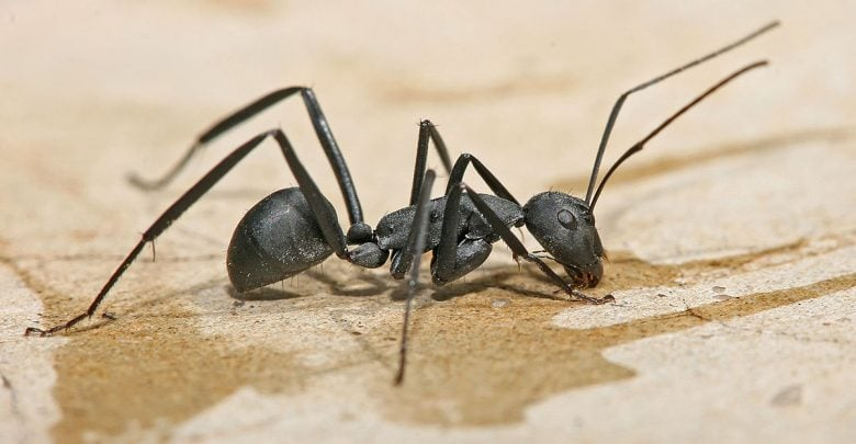 Camponotini ant species have their own distinct microbiomes