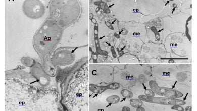 Aberrant hyphae triggered by host immune responses to plant pathogenic fungus - اخبار زیست فن