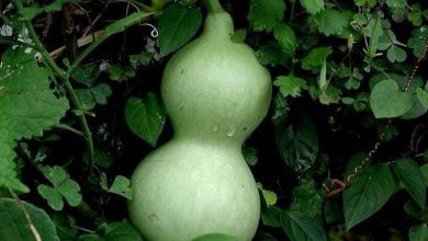 Bottle gourd genome provides insight on evolutionary history, relationships of cucurbits - اخبار زیست فن