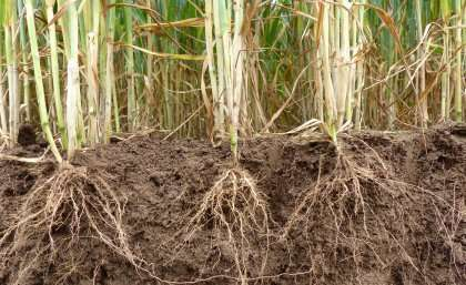 Crop gene discovery gets to the root of food security - اخبار زیست فن