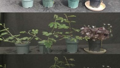 Does eclipse equal night in plant life Researchers test plant rhythms during solar eclipse - اخبار زیست فن