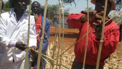 Photo of ذرت GM مقاوم در برابر آفات و خشکسالی
