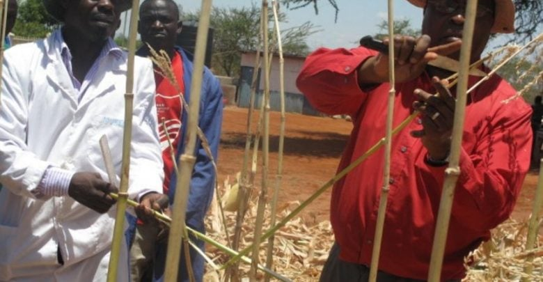 GM maize resists pest and drought - اخبار زیست فن